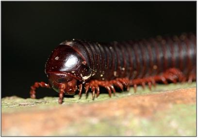 A millipede